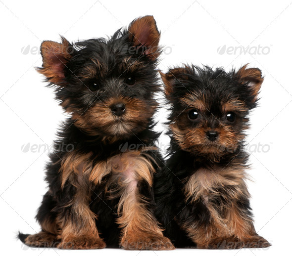 Yorkshire Terrier puppies, 8 weeks old, in front of white background - Stock Photo - Images