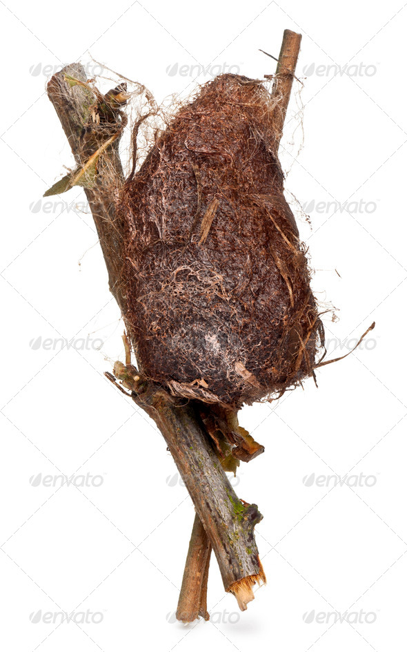 Cocoon of a Giant peacock moth in front of white background - Stock Photo - Images