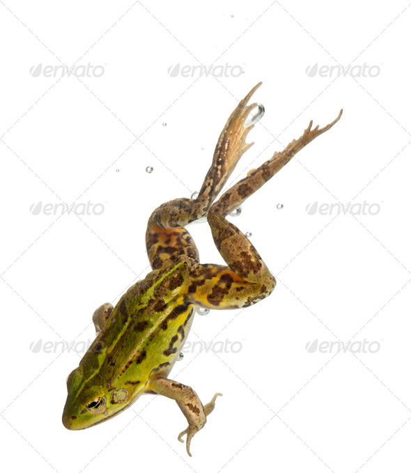 Edible Frog, Rana esculenta, in water in front of white background - Stock Photo - Images