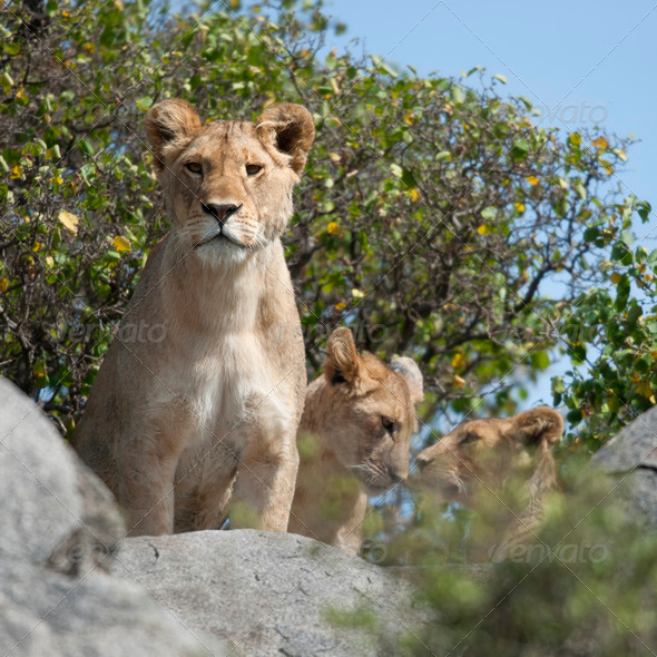 Lioness and lion cubs in Serengeti National Park, Tanzania, Africa - Stock Photo - Images