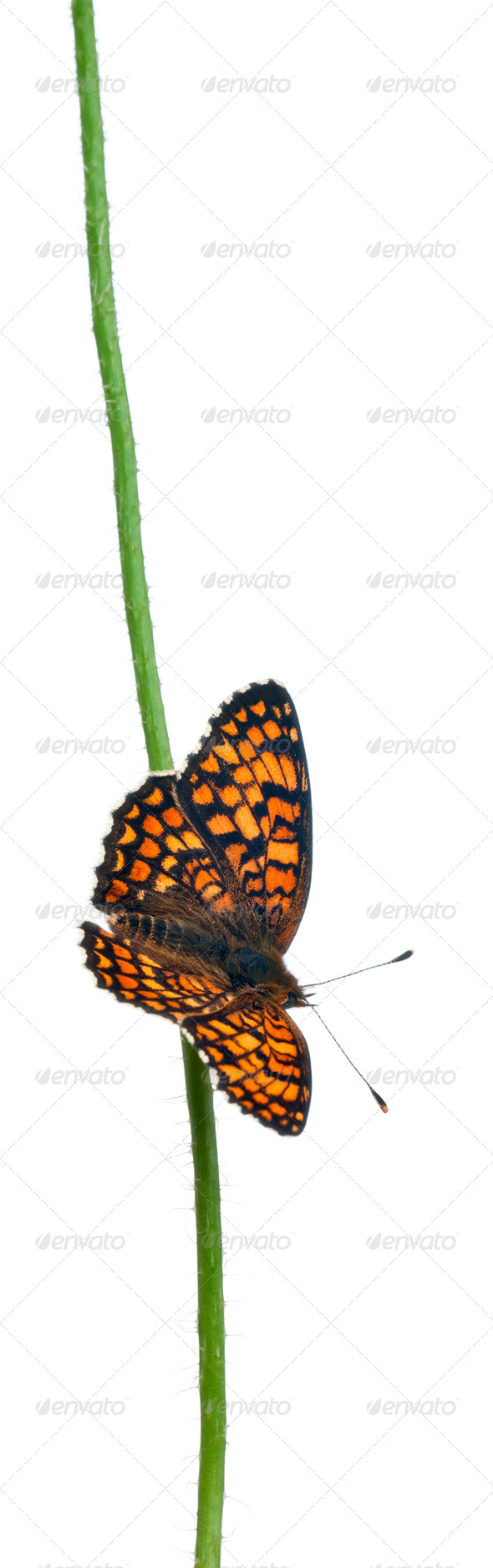 Knapweed Fritillary, Melitaea phoebe, on flower stem in front of white background - Stock Photo - Images