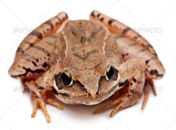 Moor Frog, Rana arvalis, in front of white background - Stock Photo - Images
