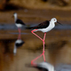 Black-Winged Stilt - PhotoDune Item for Sale