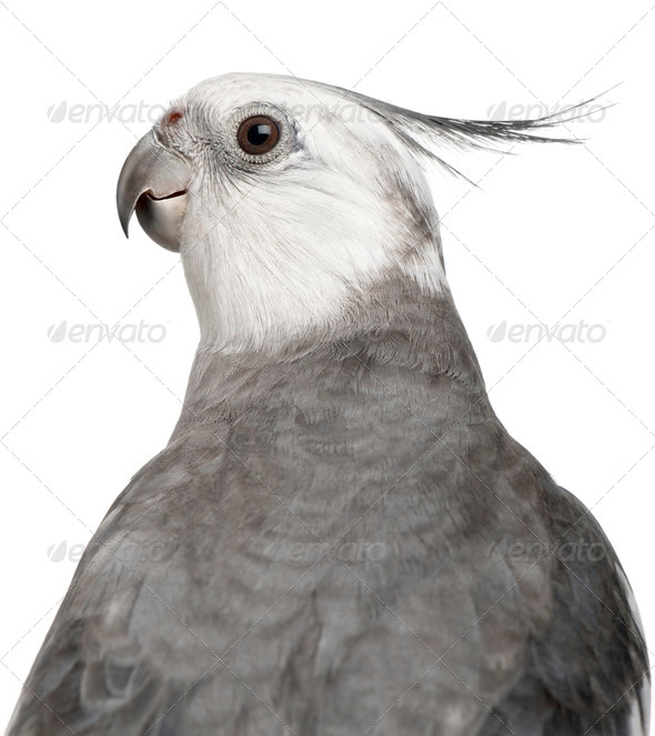 Close-up of Male Cockatiel, Nymphicus hollandicus, in front of white background - Stock Photo - Images