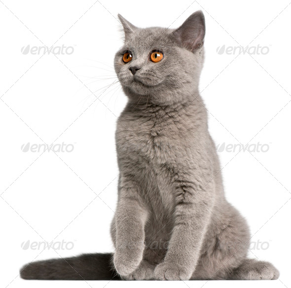 British Shorthair kitten, 3 months old, sitting in front of white background - Stock Photo - Images