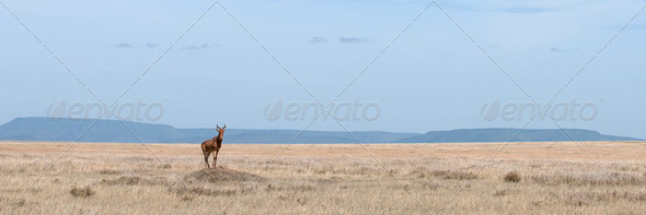 Coke's Hartebeest, Alcelaphus buselaphus cokii, in Serengeti National Park, Tanzania, Africa - Stock Photo - Images