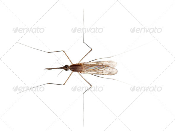 High angle view of Common gnat, Culex pipien, in front of white background - Stock Photo - Images