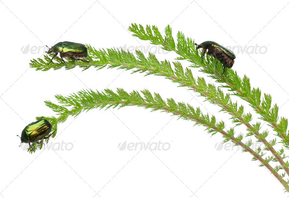 Rose chafers, Cetonia aurata, on plant in front of white background - Stock Photo - Images
