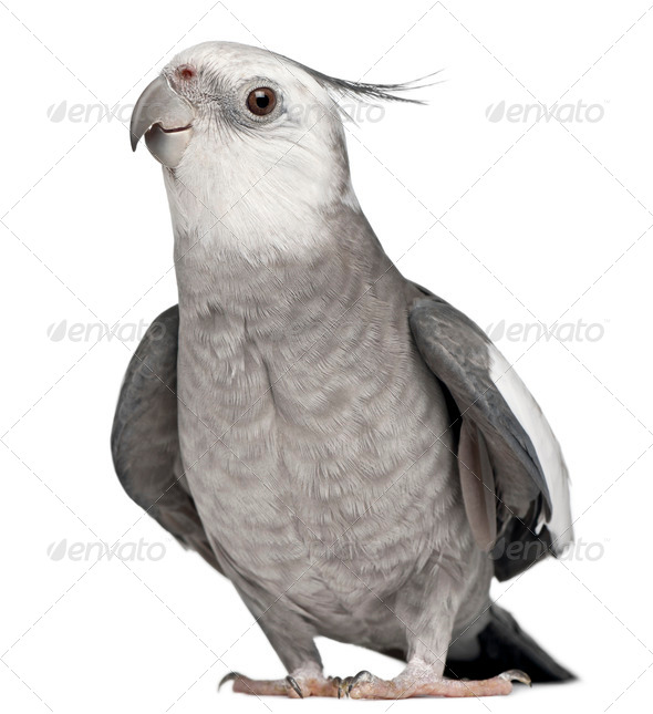 Male Cockatiel, Nymphicus hollandicus, in front of white background - Stock Photo - Images