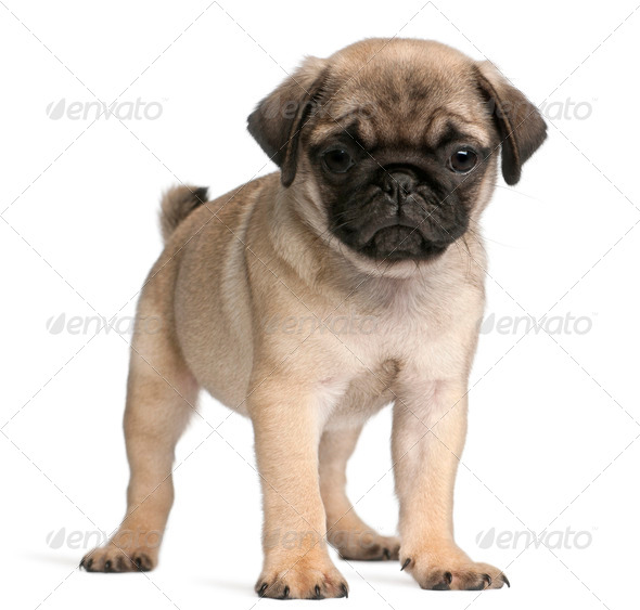 Pug, 8 weeks old, standing in front of white background - Stock Photo - Images
