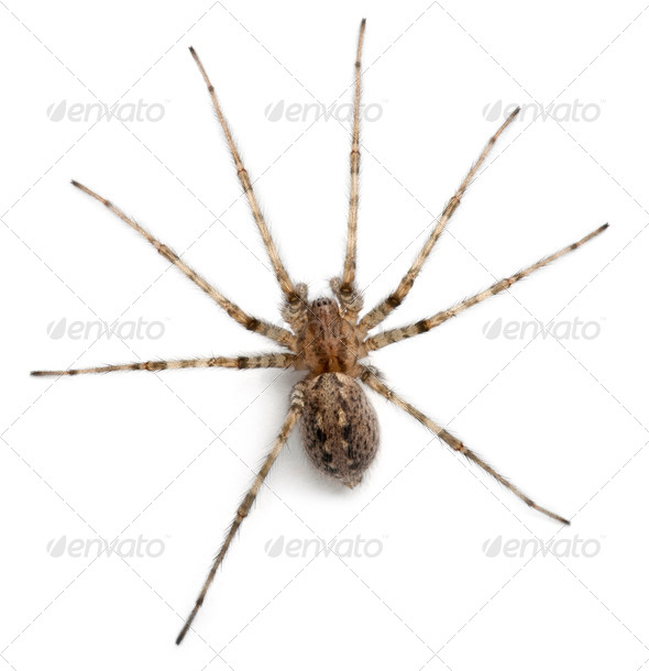 Cardinal spider, Tegenaria parietina, in front of white background - Stock Photo - Images