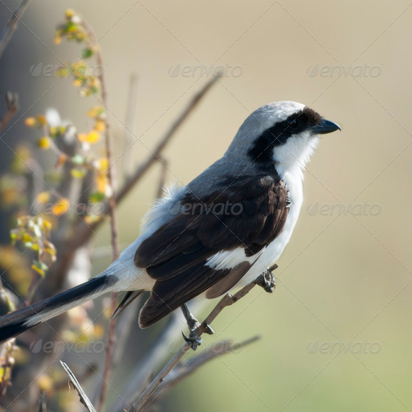 Grey-backed Fiscal, Lanius excubitoroides, in Serengeti National Park, Tanzania, Africa - Stock Photo - Images