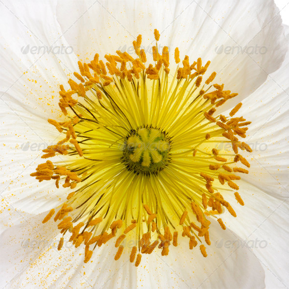 White Alpine poppy, Papaver alpinum, close up - Stock Photo - Images