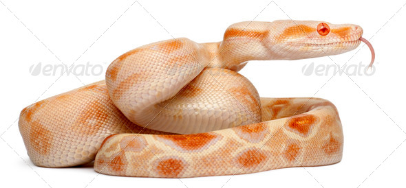 Albinos Boa constrictor, Boa constrictor, 2 months old, in front of white background - Stock Photo - Images