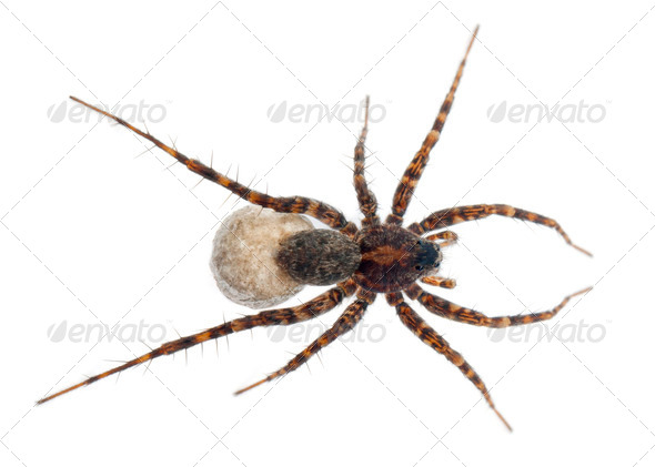 Female Pardosa lugubris carrying her egg-sac in front of white background - Stock Photo - Images