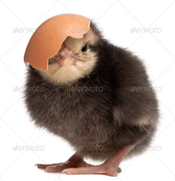 Chick, Gallus gallus domesticus, 3 days old, with eggshell in front of white background - Stock Photo - Images