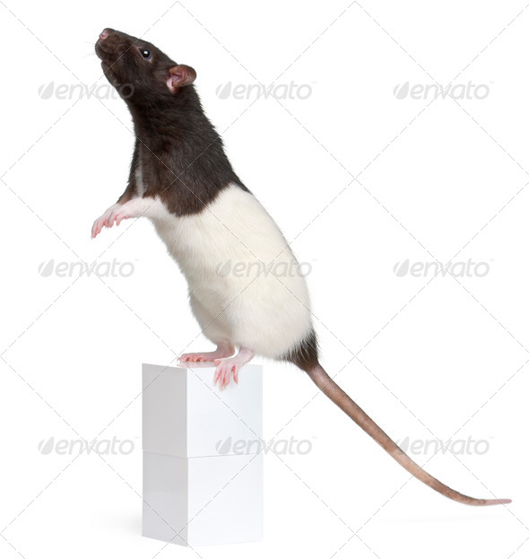 Fancy Rat, 1 year old, standing on box in front of white background - Stock Photo - Images