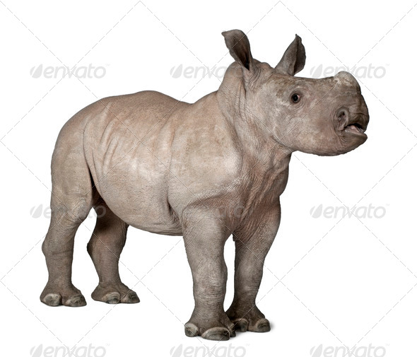 young White Rhinoceros or Square-lipped rhinoceros - Ceratotheri - Stock Photo - Images