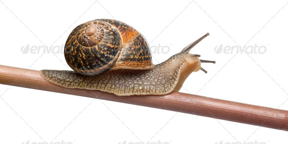 Garden Snail, Helix aspersa, in front of white background - Stock Photo - Images