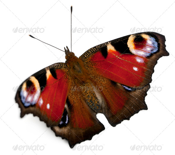 European Peacock moth, Inachis io, in front of white background - Stock Photo - Images