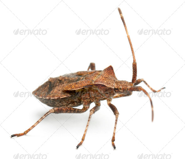 Dock bug, Coreus marginatus, species of squash bug, in front of white background - Stock Photo - Images
