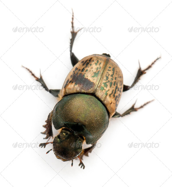 Scarab beetle - Onthophagus Sp, in front of white background - Stock Photo - Images