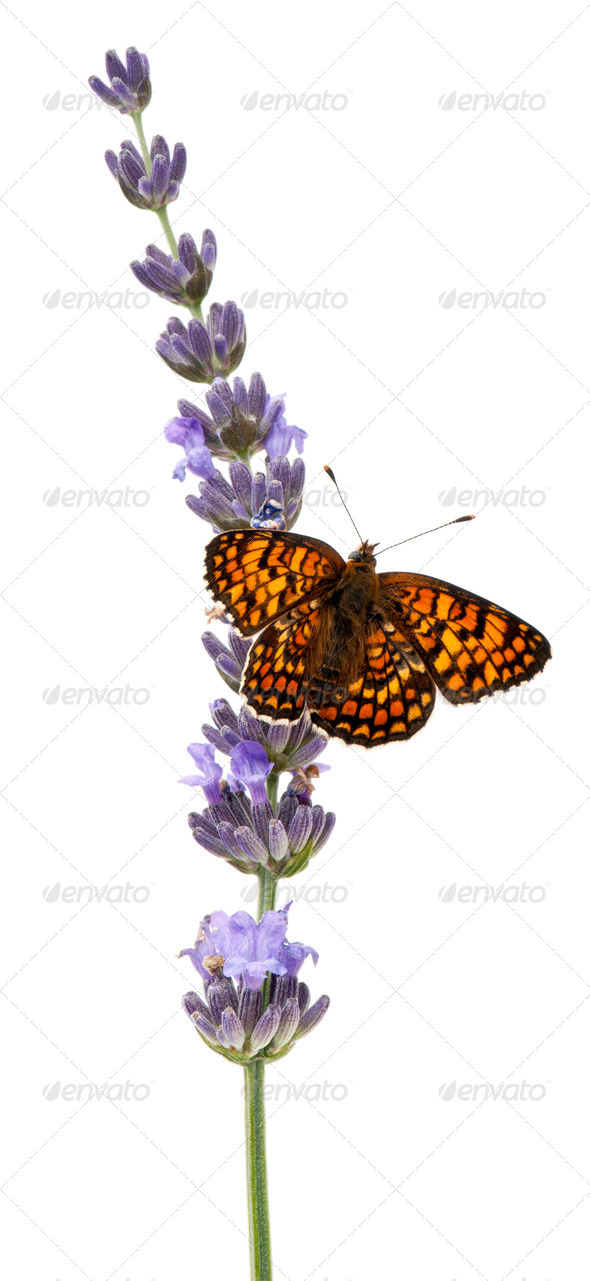 Knapweed Fritillary, Melitaea phoebe, on lavender flower in front of white background - Stock Photo - Images