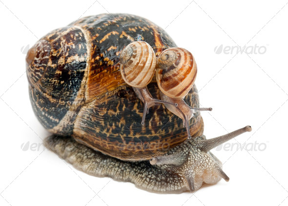 Garden snail with its babies on its shell in front of white background - Stock Photo - Images