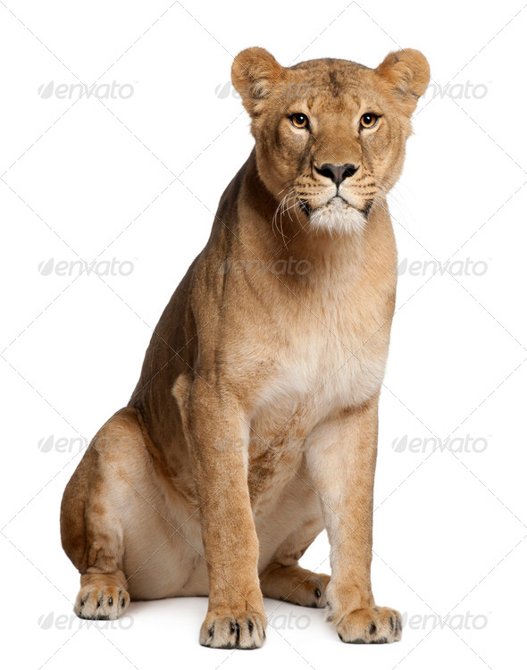 Lioness, Panthera leo, 3 years old, sitting in front of white background - Stock Photo - Images