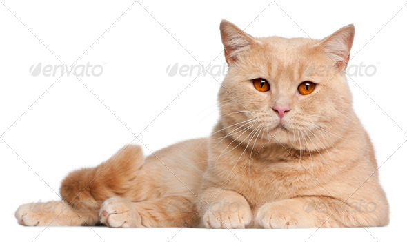 British Shorthair cats, 1 year old, lying in front of white background - Stock Photo - Images