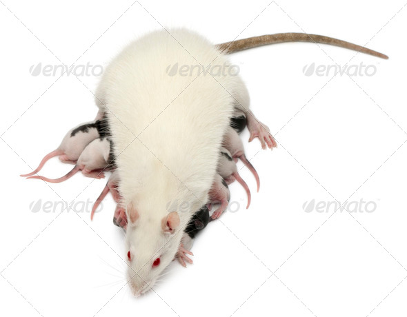 Fancy Rat feeding its babies in front of white background - Stock Photo - Images