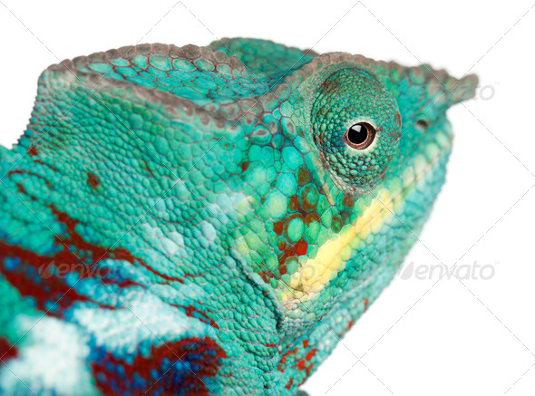 Close-up of Panther Chameleon Nosy Be, Furcifer pardalis, in front of white background - Stock Photo - Images