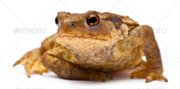 Common toad or European toad, Bufo bufo, in front of white background - Stock Photo - Images