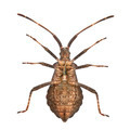 Dock bug, Coreus marginatus, species of squash bug, in front of white background