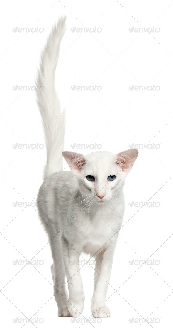 Balinese cat, 1 year old, standing in front of white background - Stock Photo - Images