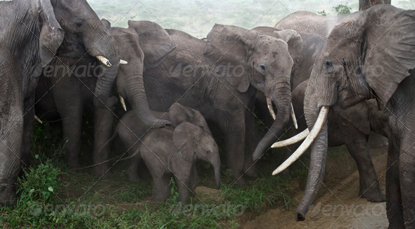 Baby elephants protected by adults in Serengeti National Park, Tanzania, Africa - Stock Photo - Images