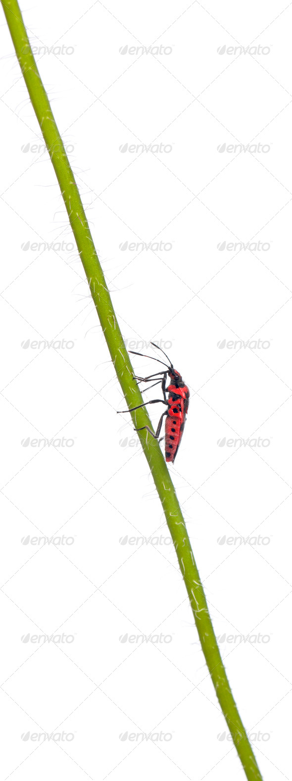 Scentless plant bug, Corizus hyoscyami, on poppy stem in front of white background - Stock Photo - Images