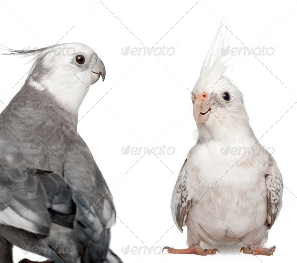 Male and female Cockatiel facing each other, Nymphicus hollandicus, in front of white background - Stock Photo - Images