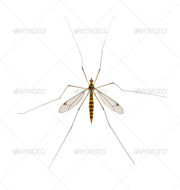 daddy long legs, mosquito, - nephrotoma scalaris - Stock Photo - Images