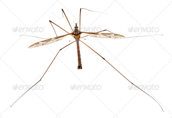 Crane fly or daddy long-legs, Tipula maxima, in front of white background - Stock Photo - Images