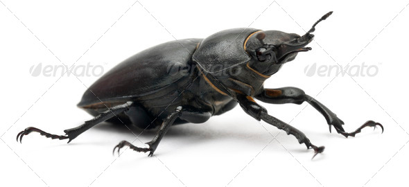 Female Lucanus cervus, the best-known species of stag beetle, in front of white background - Stock Photo - Images