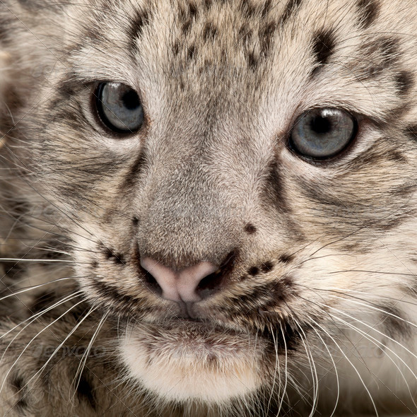 Snow leopard, Uncia uncia or Panthera uncial, 2 months old, close up - Stock Photo - Images