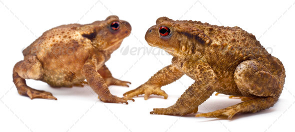 Two common toads or European toads, Bufo bufo, facing each other in front of white background - Stock Photo - Images