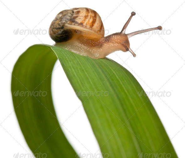 Garden snail on leaf, Helix aspersa, in front of white background - Stock Photo - Images