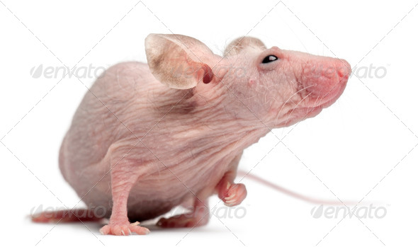Hairless House mouse, Mus musculus, 3 months old, in front of white background - Stock Photo - Images