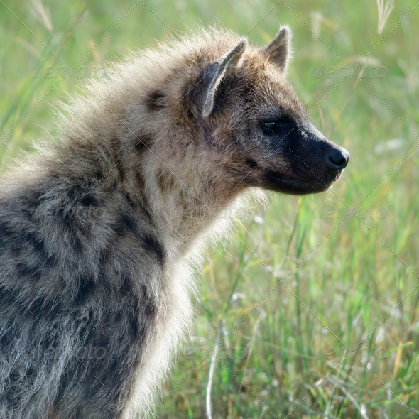 Hyena in Serengeti National Park, Tanzania, Africa - Stock Photo - Images