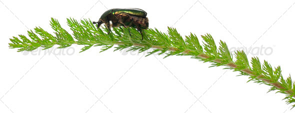 Rose chafer, Cetonia aurata, on plant in front of white background - Stock Photo - Images