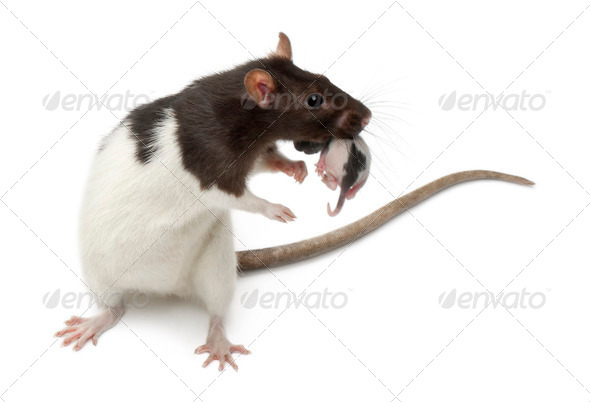Fancy Rat carrying its baby in front of white background - Stock Photo - Images