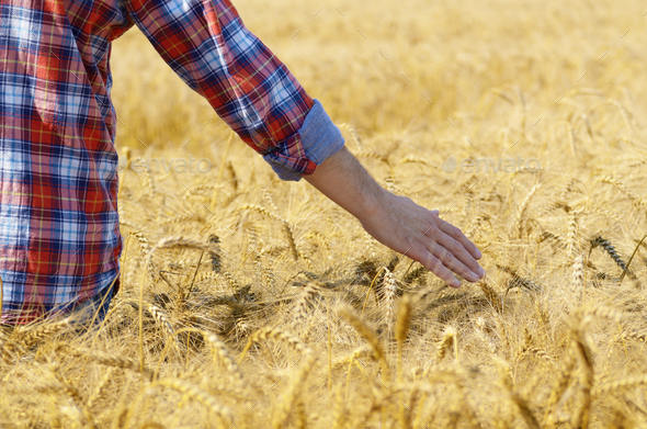 Farmer at cornfield touching wheat spikelets by his hand - Stock Photo - Images