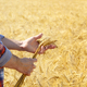 Farmer holds wheat harvest ready spikelets in his hand at corn f - PhotoDune Item for Sale